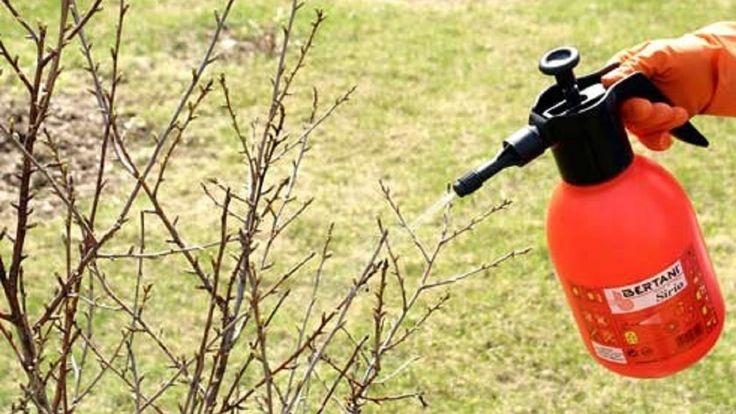Опрыскивание сада весной.