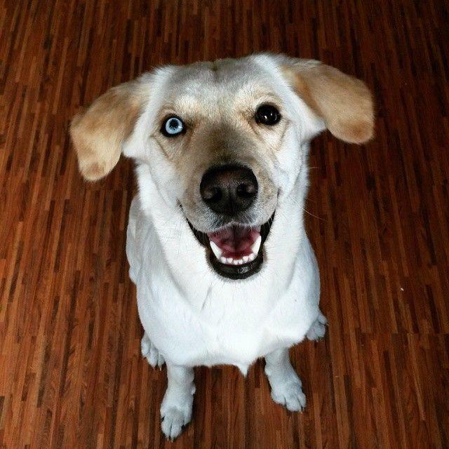 "53 Me gusta, 14 comentarios - Renée and Maila (@huskymix_maila) en Instagram: ""#huskymix#huskylabradormix#huskador#labsky#husky#labrador#mix#mischling#mischlingshündin#dog#huskyeyes"""