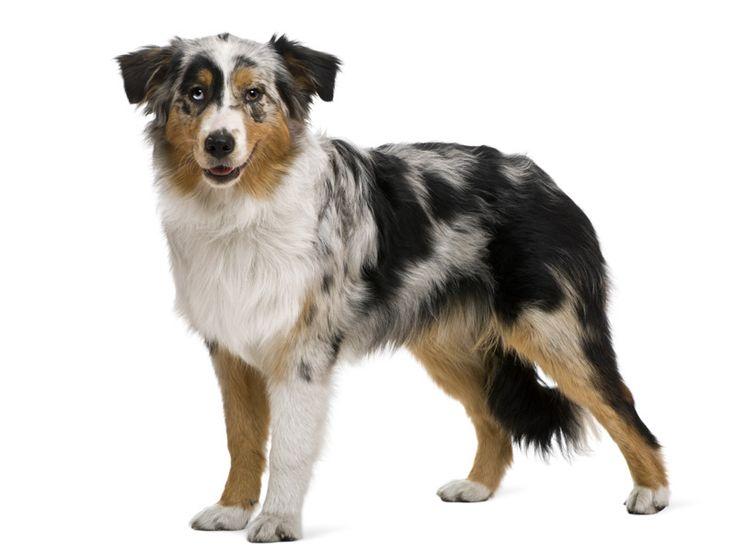 Hondenrassen - Australian Shepherd