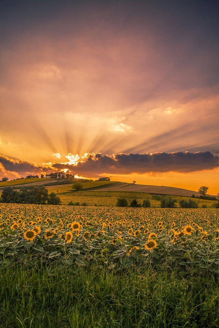 Sunset in sunflower field, Macerata, Italy