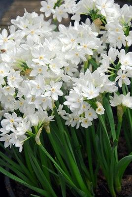Paper white narcissi are fabulous for indoor rewarding you with beautiful flowers within 6 to 8 weeks from planting They give stunning clusters of white flowers with a beautiful fragrance.