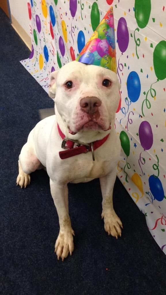 Adopted >> Meet Apollo - URGENT, an adoptable Pit Bull Terrier looking for a forever home. If you're looking for a new pet to adopt or want information on how to get involved with adoptable pets, Petfinder.com is a great resource.