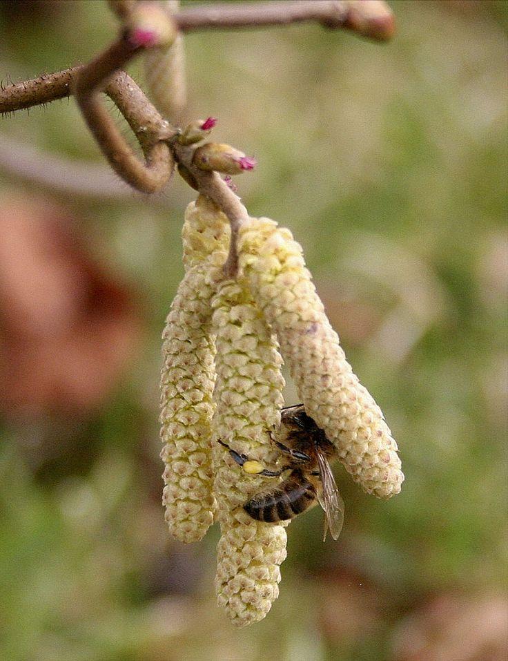 Tous les mois, une nouvelle plante mellifère en détail !