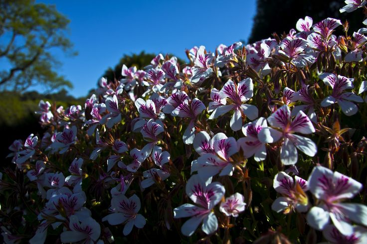 Pelargonium wonders