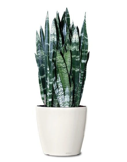 Small Ornamental Plant - Black Coral Snake Ornamental Plant - Sansevieria Black Coral (Web) Buy Plants Online RealOrnamentals.com or RealPalmTrees.com