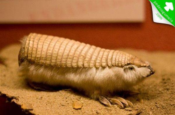 Chlamyphorus truncatus. Espécie de tatu do gênero Chlamyphorus. São os menores tatus do mundo e uma rara espécies de mamífero da América do Sul, encontrado no subterrâneo das planícies da Argentina. Os pichiciegos-menores permanecem em suas tocas durante o dia, saindo à noite para alimentar-se. Sua dieta é composta principalmente de formigas, e também de larvas de insetos, minhocas, raízes e outras partes de plantas. Hábeis cavadores, enterram-se em questão de segundos.