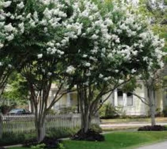 "Natchez Crape Myrtle Lagerstroemia x faurei 'Natchez' The Natchez Crape Myrtle produces long lasting clusters of white flowers. each cluster can range from 8"" to 16"" long. It also has one of the longe"