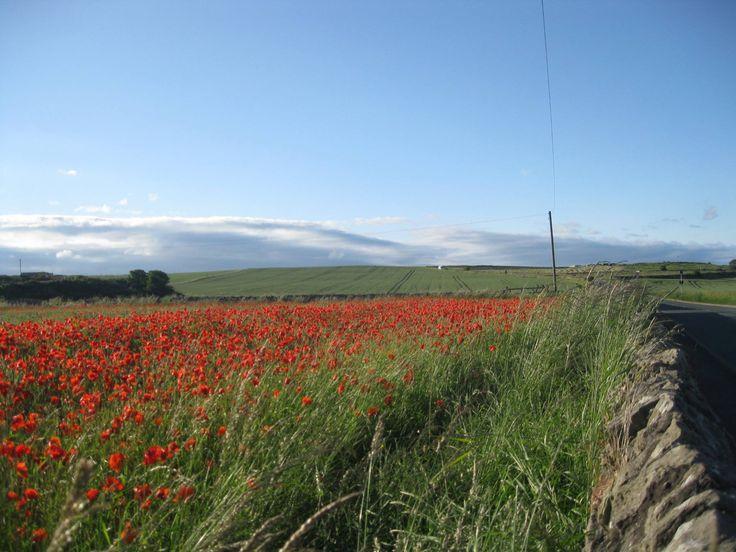 Poppy field, Whitburn, Sunderland.
