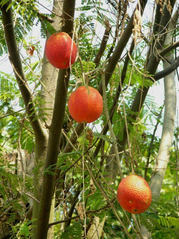 Asia venta caliente gac semillas frutas sureste 5 piezas - Semillas de frutas y verduras ...