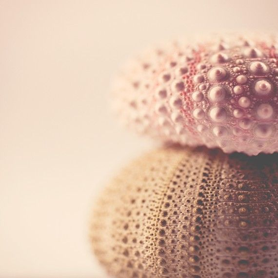 sea urchinsSea Shells, Inspiration, Blushes Pink, Soft Colors, Pink Shells, Art, Sea Urchins, Seashells, Colours
