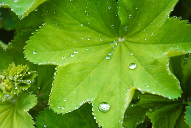 Green Leaves with Raindrops Photo, Ladys Mantle Photo, Fine Art Photography, Fresh Spring Photo, Bright Green, Bathroom Decor, Wall Art by PrettyNicePhotos on Etsy