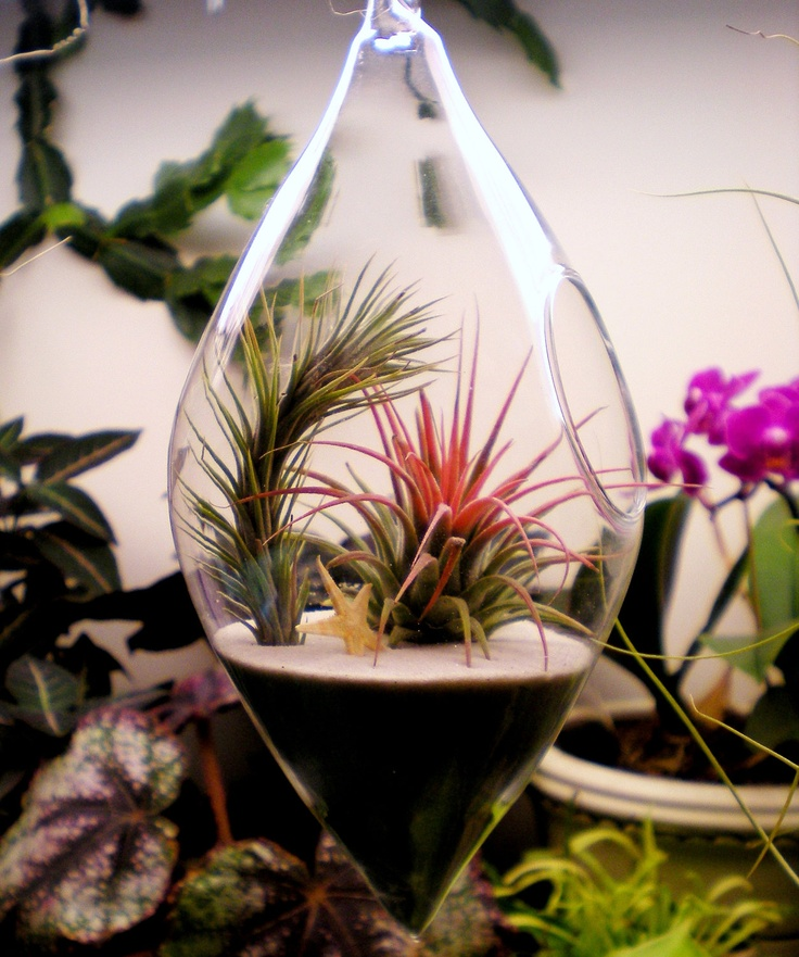 Hanging Air Plant Terrarium Tillandsias And Star Fish Glass Terrarium    LOVE!