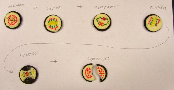 Engage your biology students with this Oreo Cookie Mitosis Activity by Amy Balling.