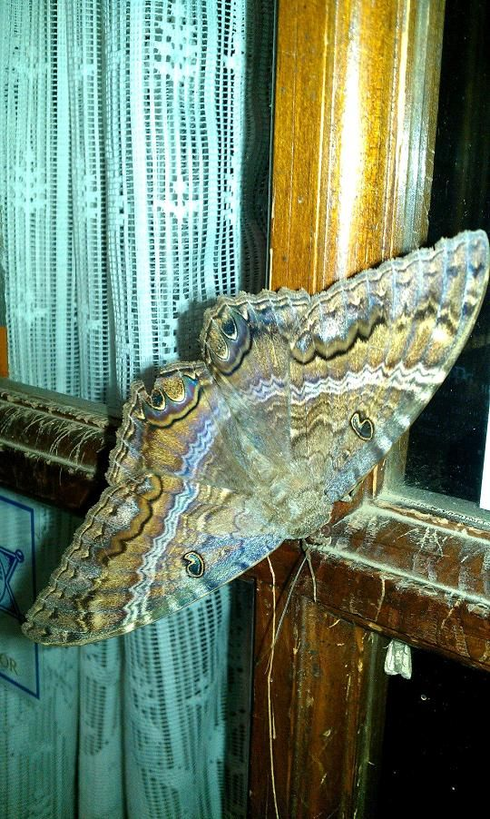 Big, Bat-like, and they don't bite: Black Witch Moths Making Appearances in…