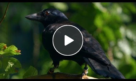 This crow is insanely smart.