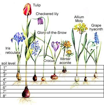 Planting Charts for Spring-Flowering Bulbs  This handy chart takes the guesswork out of planting bulbs.