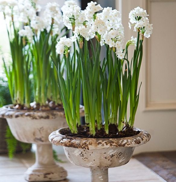 Paperwhites are so lovely!