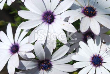 Daisy Flowers in Sunlight (Bornholmer Marguerite) Royalty Free Stock Photo