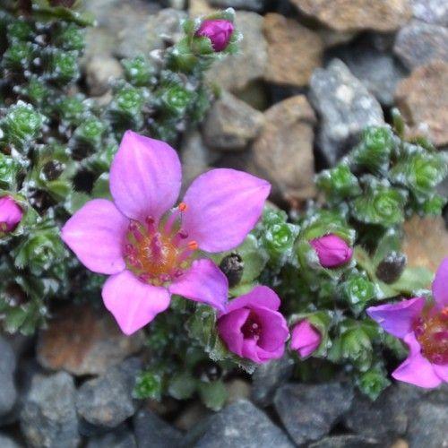 nunavut flower images