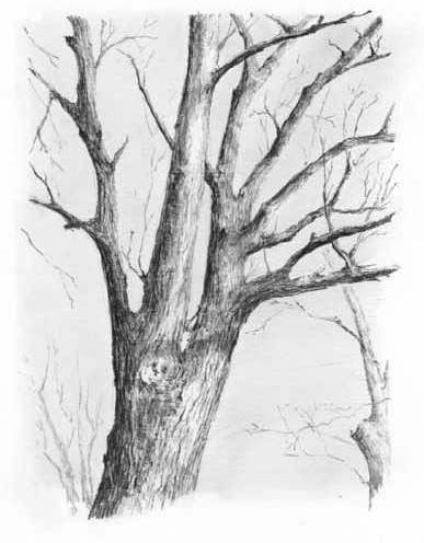 Realistic drawing of a tree