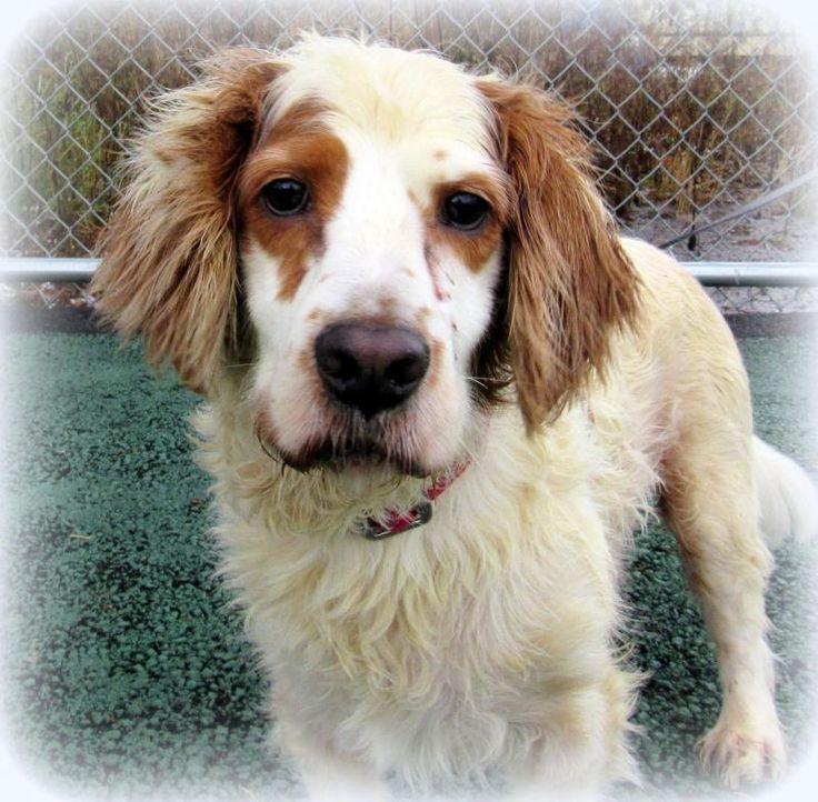 Meet Beethoven, an adoptable Welsh Springer Spaniel looking for a forever home. If you're looking for a new pet to adopt or want information on how to get involved with adoptable pets, Petfinder.com is a great resource.