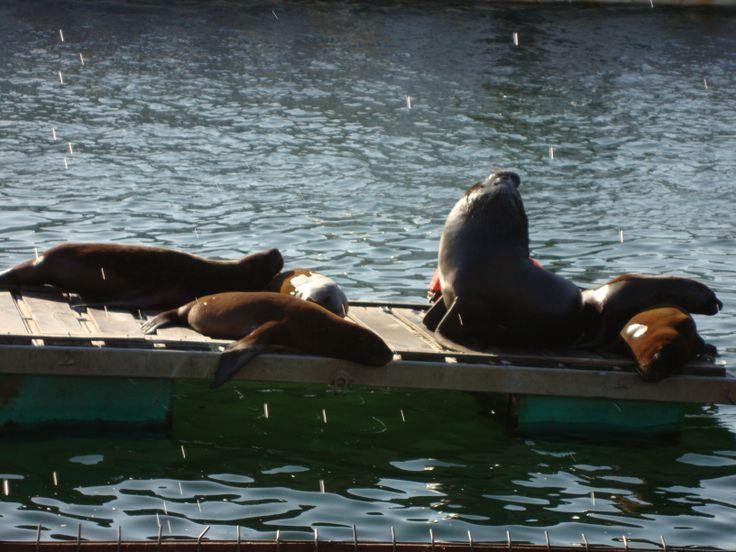Lobos marinos frente al Mercado Fluvial de Valdivia