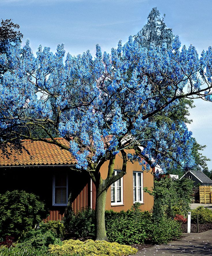 Princess Tree | Trees and Shrubs from Spalding Bulb