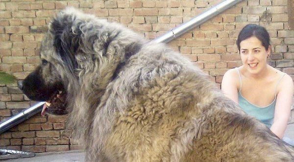 best 25  caucasian shepherd for sale ideas on pinterest