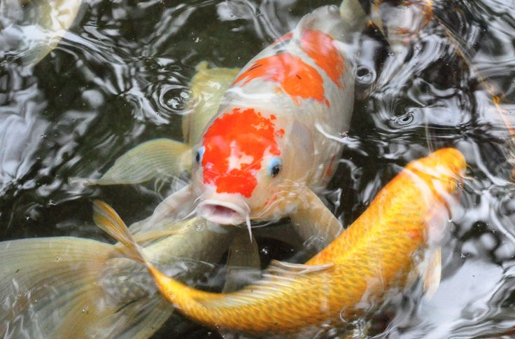 All About Koi: Fish Facts — Koi Story