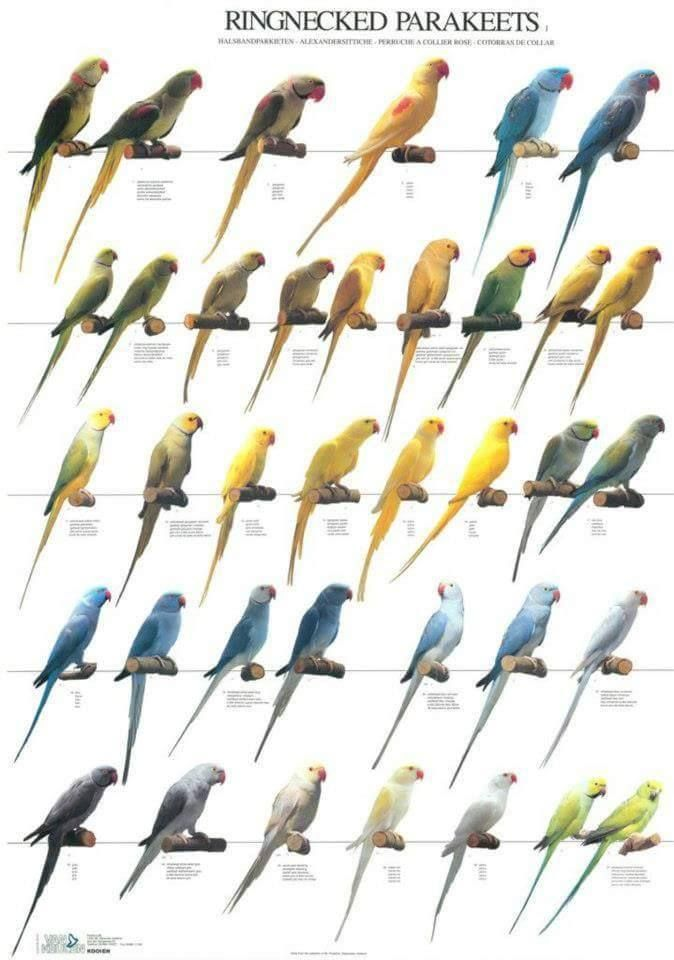 Indian Ringnecked Parakeets