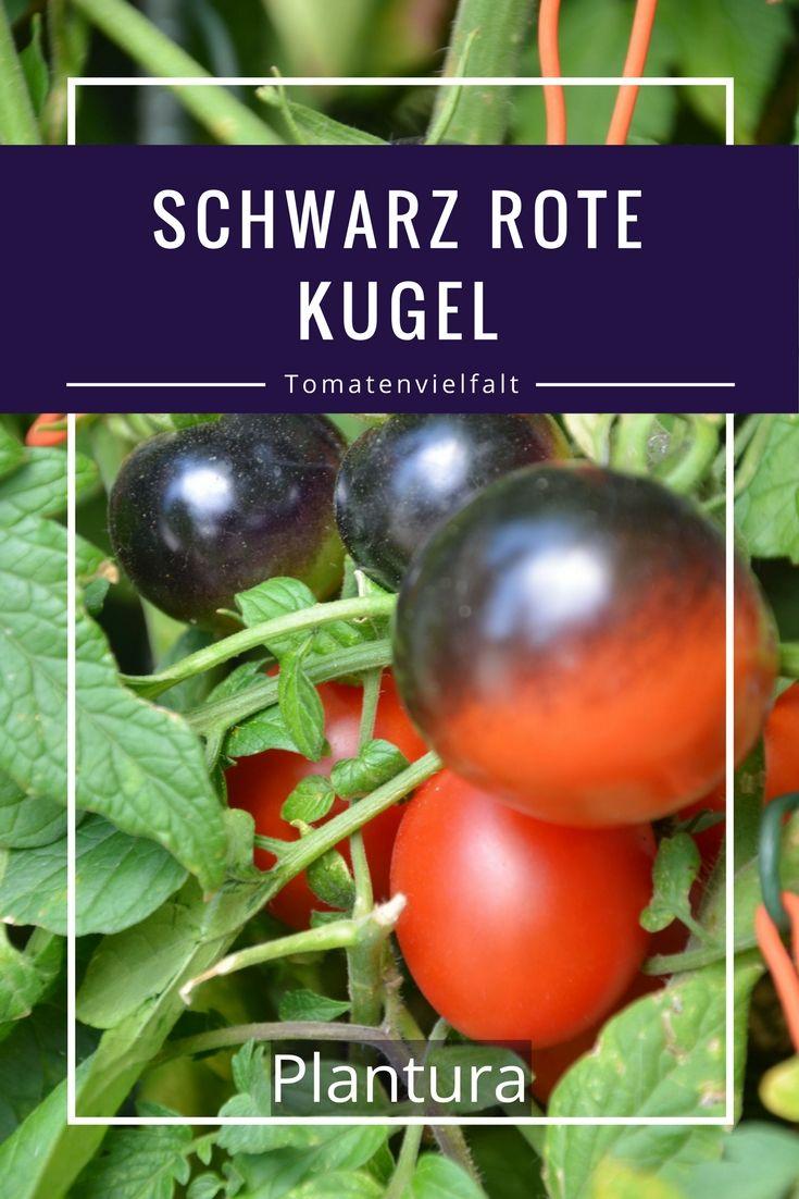 Die Früchte dieser Sorte sind mittelgroß (Ø ca. 4 cm) und rund. Auf der Sonnenseite färben sie sich schwarz und auf der Schattenseite rot.