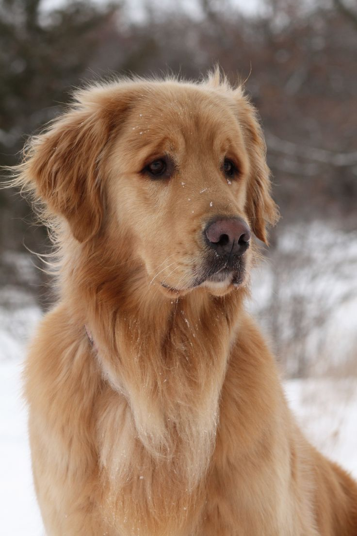 1000+ images about I love Golden retrievers on Pinterest ...