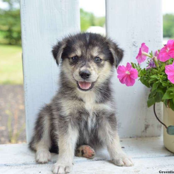 Trigger The Goberian Golden Retriever And Siberian Husky Mix Dog Crossbreeds Golden Retriever Husky Mix Puppies Puppies