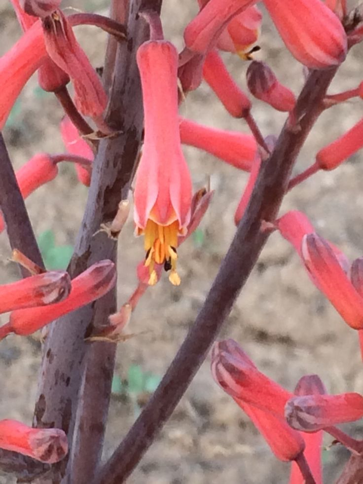 Aloe flowers in the Karoo garden. Sunbirds hang upside down sucking nectar from them. They are starting to bloom now...20150915
