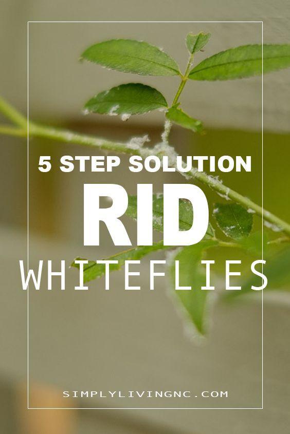 Whiteflies on Your Garden Plants & Houseplants; how get ...