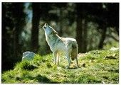 Ulvova susi | Perromania - pieni postikorttikauppa