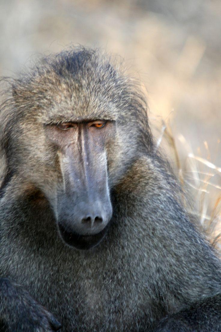 Adult baboon, Kruger National Park.  #EpicEnabled