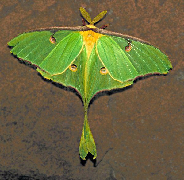 112 Best Moths Images On Pinterest  Butterflies Caterpillar And Extraordinary Small Moths In Bathroom Inspiration