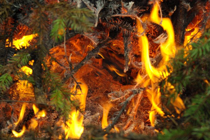 Spruce on fire