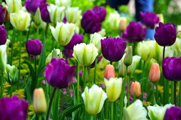 Tulip combination ideas, spring bulb combination ideas, Tulip 'Negrita',Tulip 'Menton', Tulip 'Spring Green'