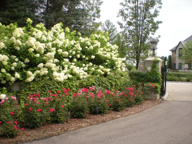 Hydrangea limelight knock out roses landscape plants pinterest the o 39 jays garage and - Caring hydrangea garden ...