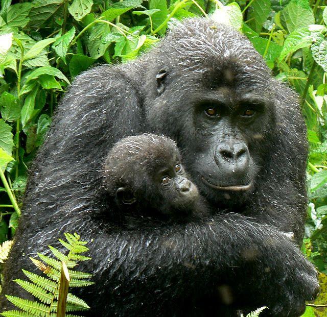 Gorilas, casi humanos El gorila es el animal que tiene más ADN en común con los humanos, a excepción de dos especies de chimpancés.