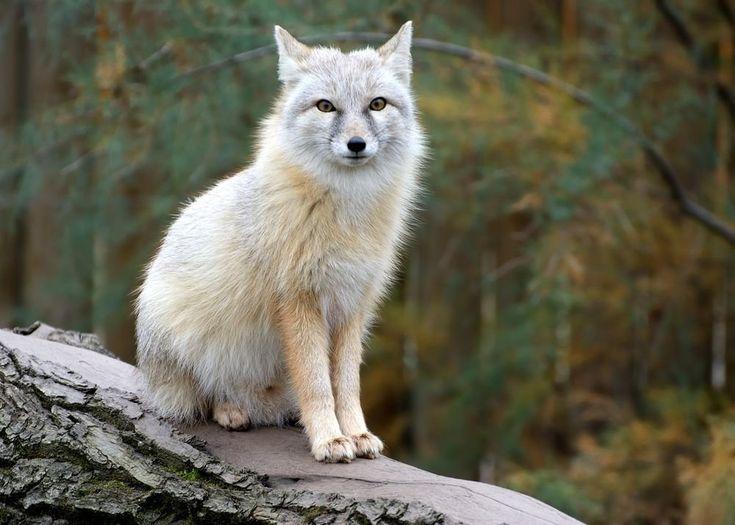 Desert Fox by Tejas Soni | Desert fox, Animal totem spirit