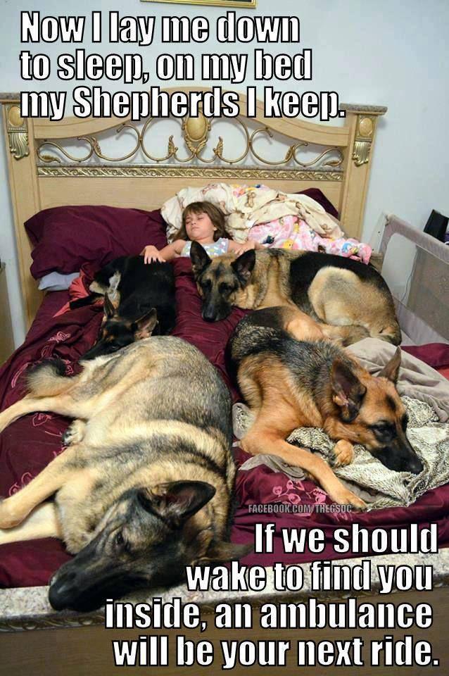 120 Best Images About German Shepherd Memes On Pinterest
