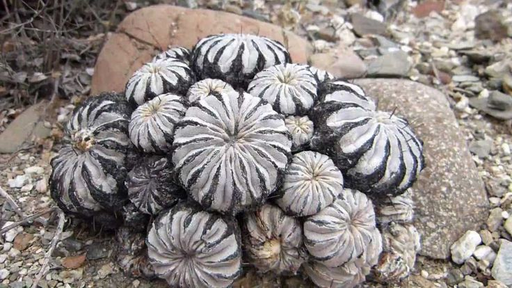 Beauty of Chilean cacti