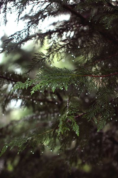 Evergreens. I remember climbing these as a kid in Ireland. They'd get your hands all sappy but it was worth it