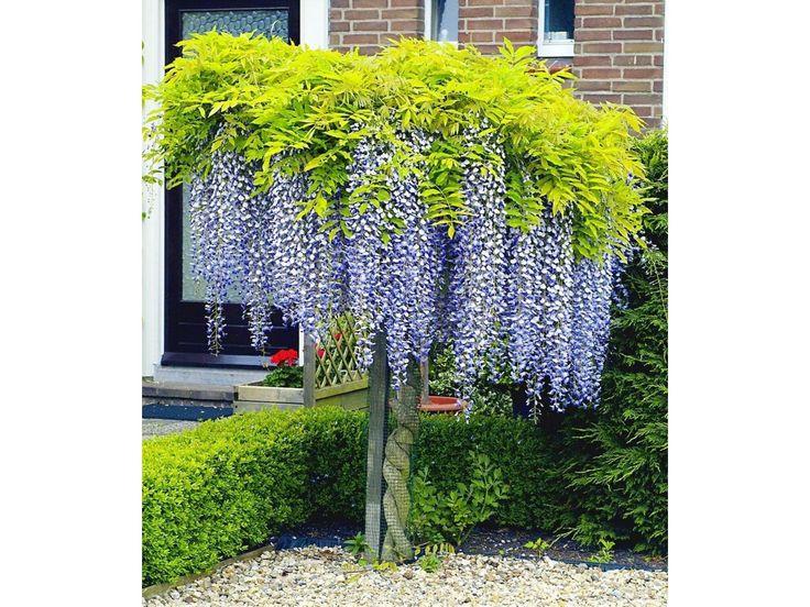 Blauregen auf Stamm, 1 Pflanze Wisteria sinensis Glycinie 1