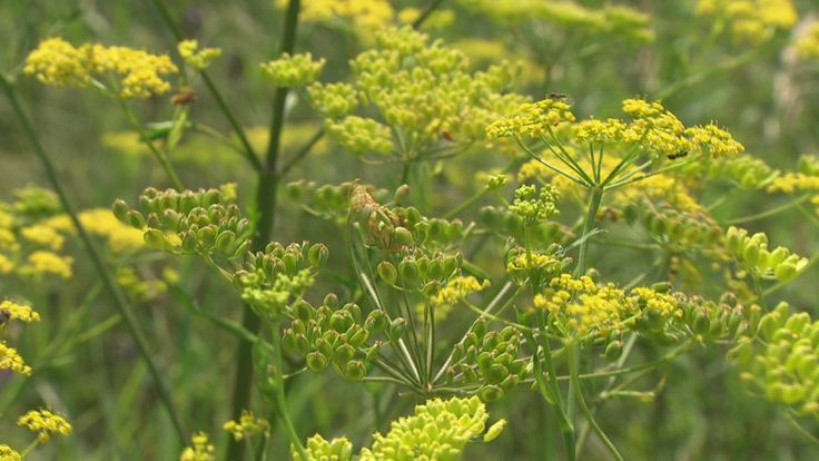Experts are warning of a nasty weed in Saskatchewan, and across Canada. Wild parsnip can burn skin and cause temporary blindness.