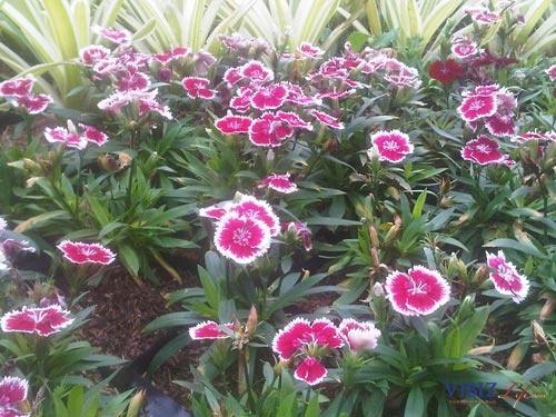 Anyelir Mini (Dianthus caryophyllus)