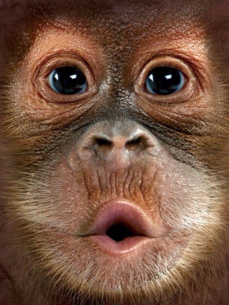 Baby Orangutan in Closeup.